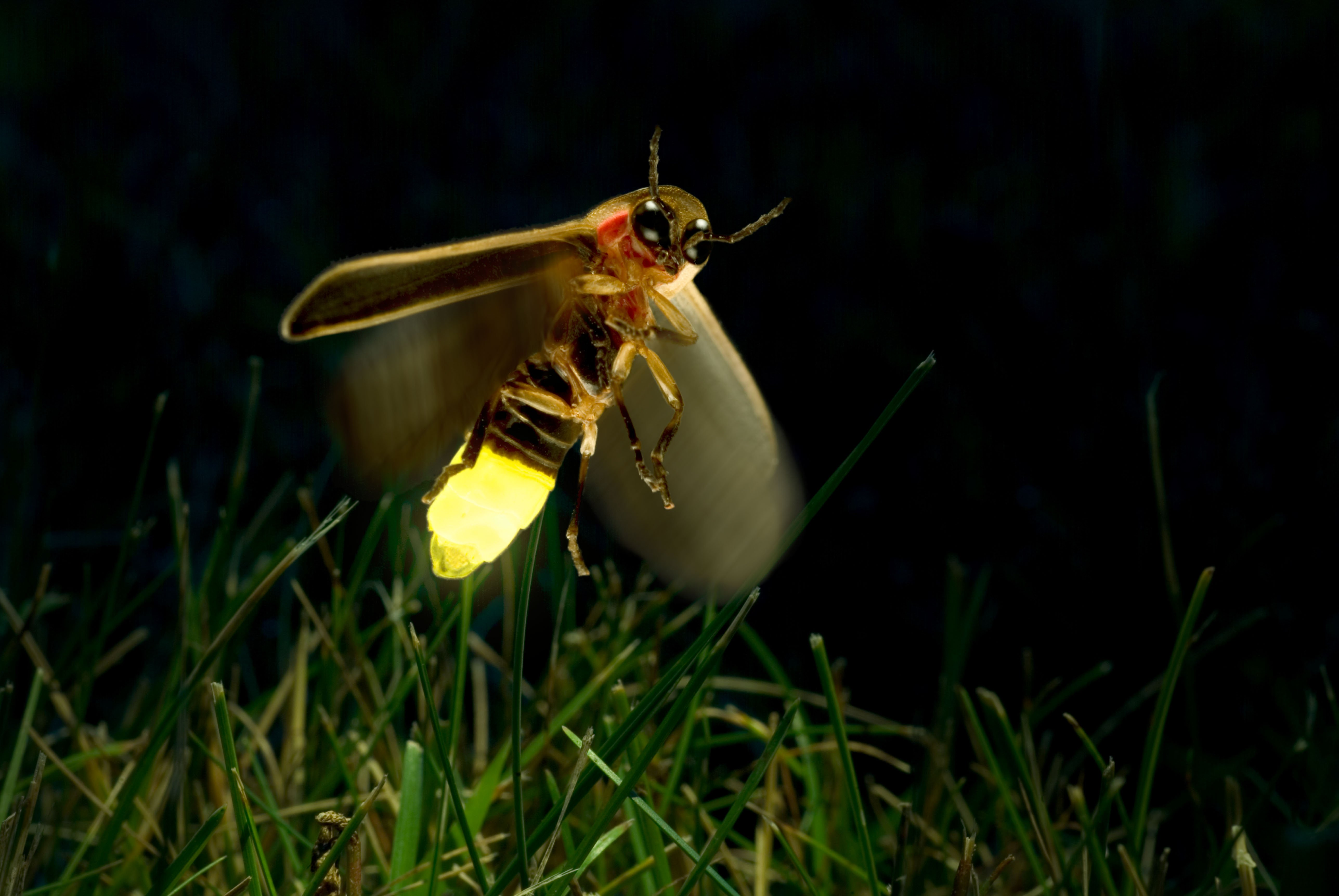 firefly insect at night wallpaper