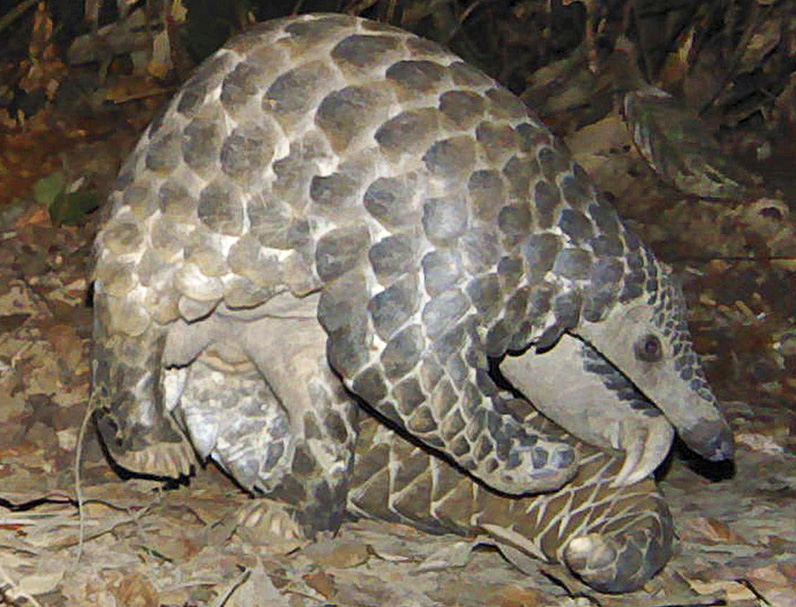 Pangolins headed for extinction, in part due to booming ...