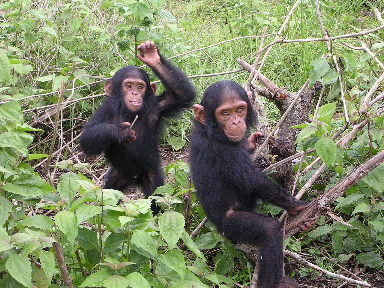 Chimpanzees are forcing us to redefine what it means to be