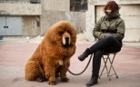 A Tibetan mastiff on sale on a street in China. A Shanxi couple have given up two of their dog but refuse to surrender a third after the pets attacked several neighbours. Photo: AFP