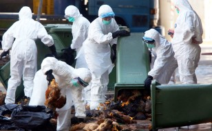 Agriculture, Fisheries and Conservation Department staff dispose of culled chickens at Cheung Sha Wan market. Photo: Felix Wong