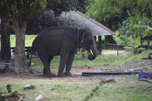 Male ♂ Asian elephant (Elephas maximus) Golf at Island Safari Tour (Koh Samui)