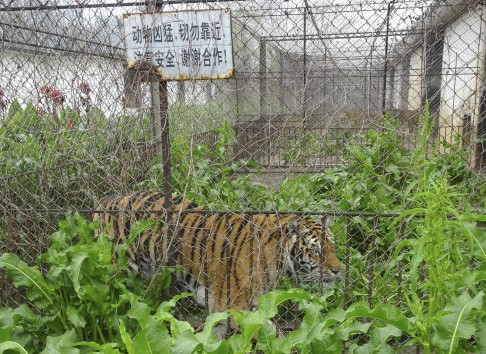 Why 1,800 tigers are in a rundown China park: to be made
