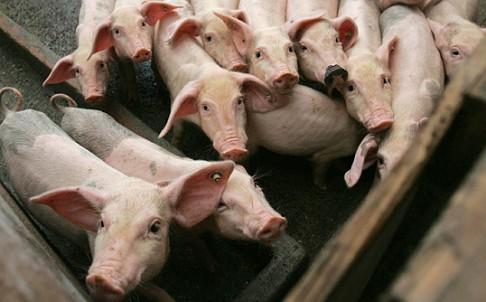 swine population